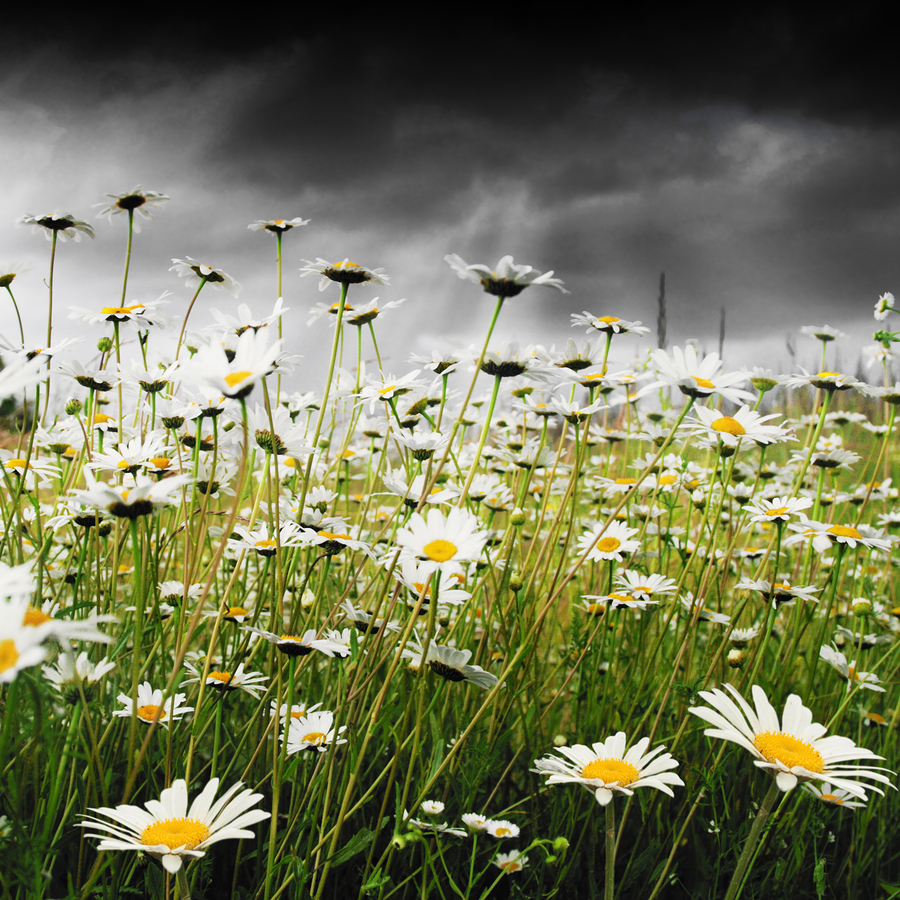White daisies and stormy sky.